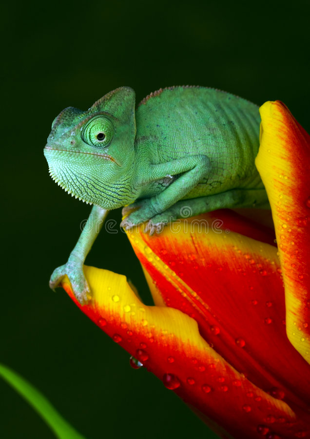 Free Chameleon On Tulip Stock Photography - 1891332