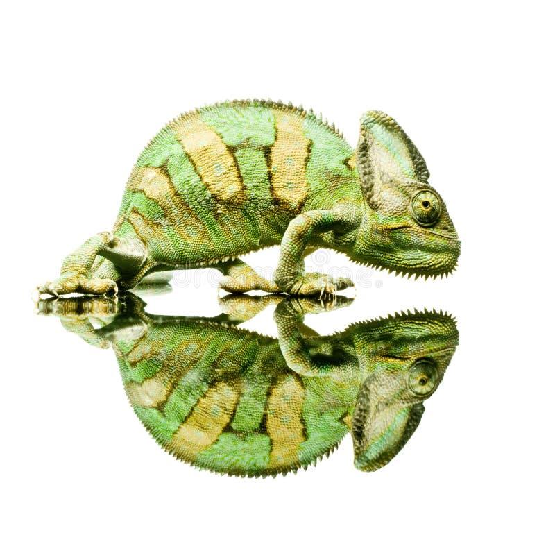 Chameleon pequeno imagens de stock royalty free