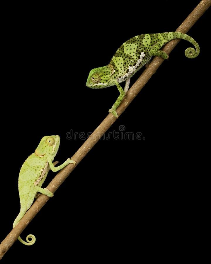 Chameleon piano del collo fotografia stock