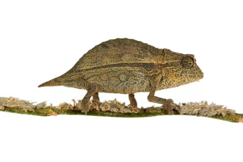 Chameleon pigmeo del foglio fotografia stock libera da diritti