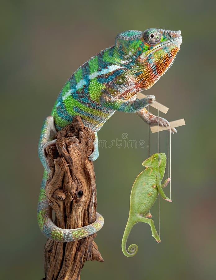 Chameleon Puppetmaster fotografia de stock
