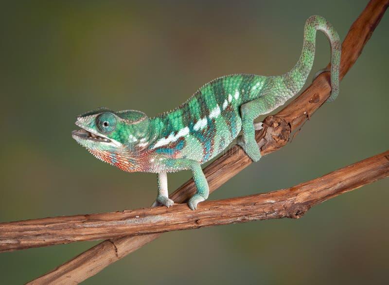 Chameleon que mastiga o grilo imagens de stock