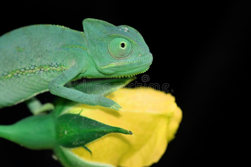 Chameleon and rose stock photography