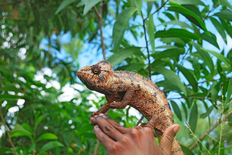 Chameleon selvagem na mão imagem de stock royalty free