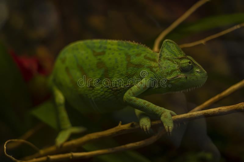 Chameleon is sitting on a branch of a tree. Black background royalty free stock images