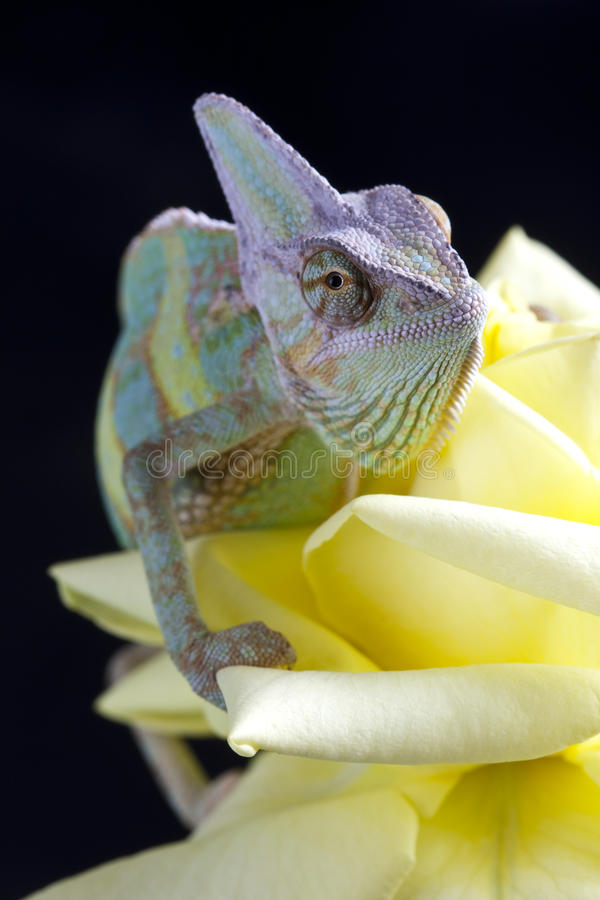 Chameleon sitting on a rose royalty free stock photography