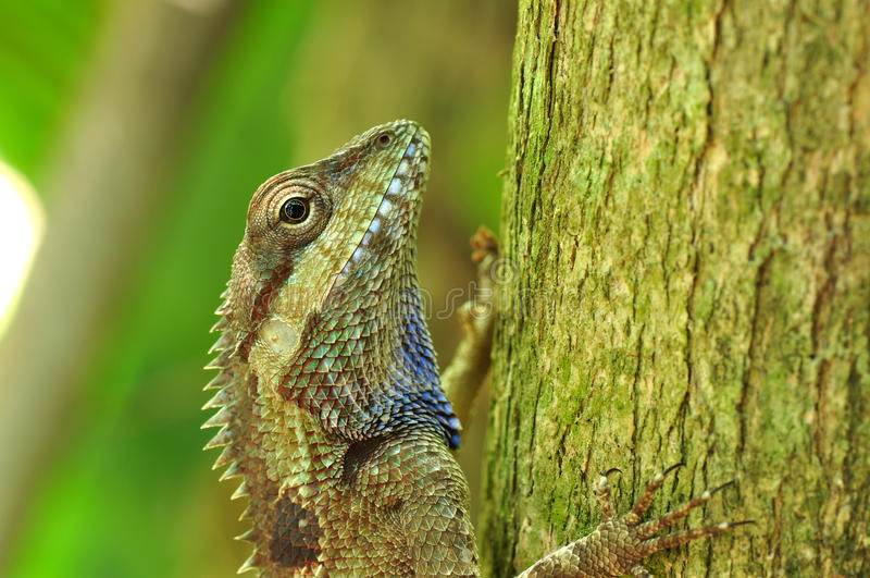 Chameleon tailandês foto de stock