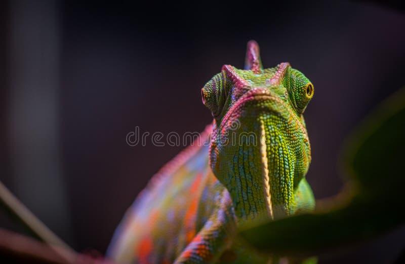 Chameleon in Tilt Shift Lens Photography stock images