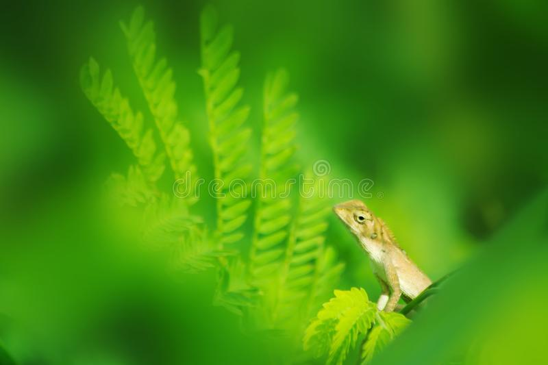 Chameleon on tree, animal in nature stock photography