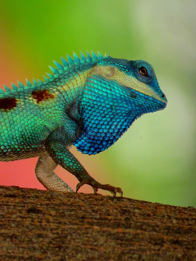 Chameleon on tree stock photography