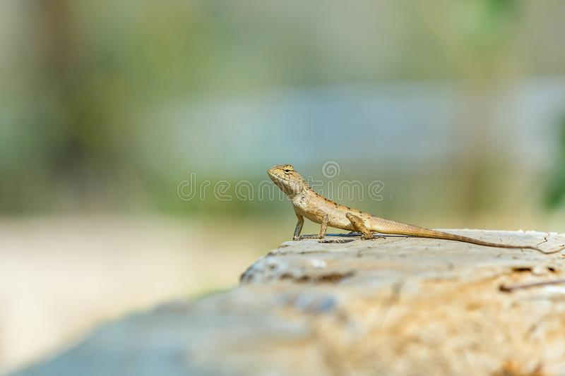 Chameleon on the tree background blur,Lacertilia. Beautiful Chameleon Brown observe on the tree background blur stock photography