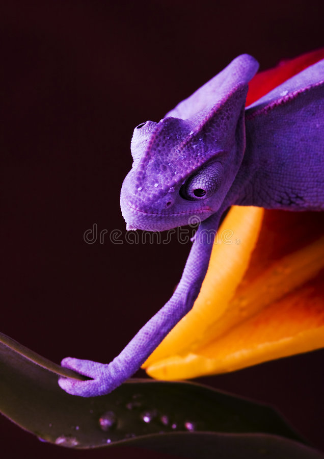 Chameleon on the tulip stock photography