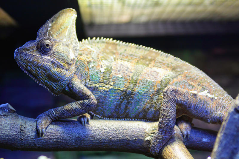 Chameleon velato fotografia stock