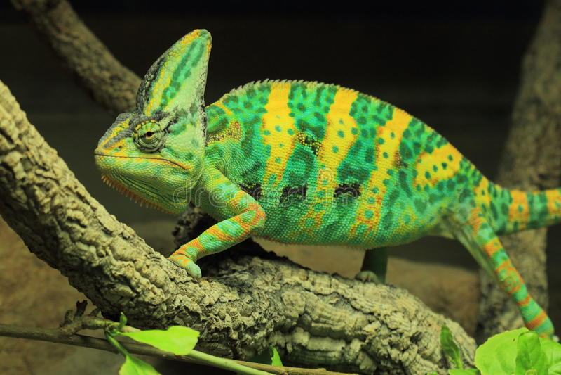 Chameleon velato immagini stock