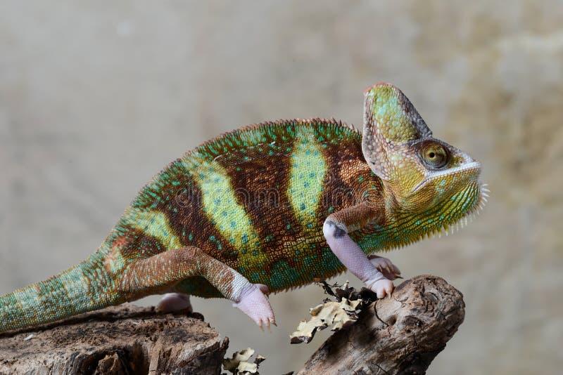 Chameleon velato immagine stock