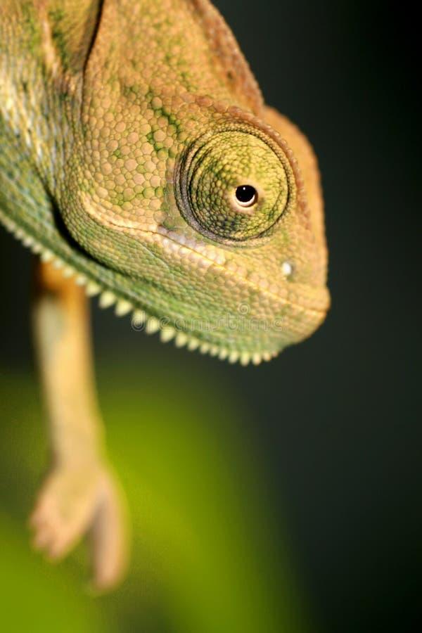 Chameleon vendado foto de stock