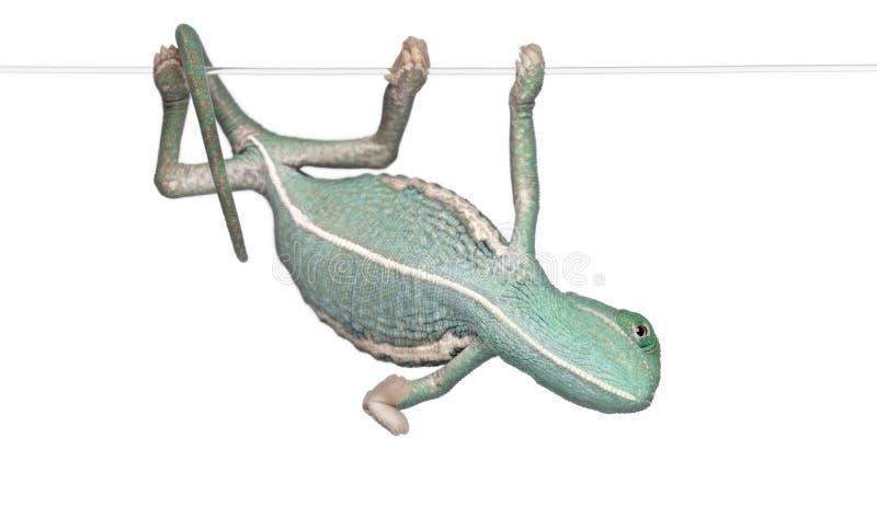 Chameleon vendado novo, calyptratus do Chamaeleo fotos de stock