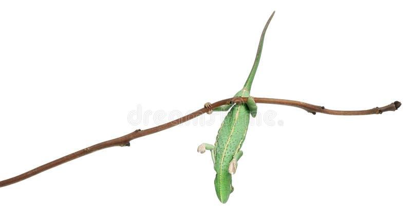Chameleon vendado novo, calyptratus do Chamaeleo fotografia de stock royalty free