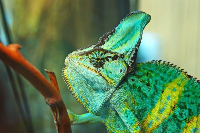 Chameleon verde immagine stock