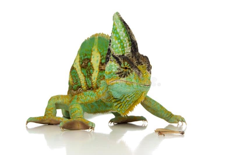 Chameleon verde immagini stock libere da diritti