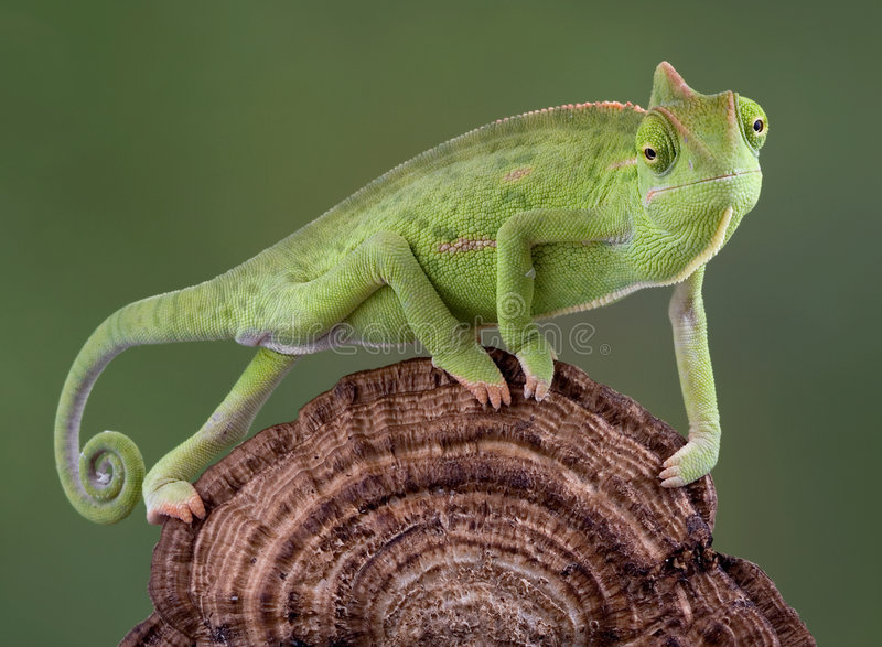 Chameleon walking. A baby veiled chameleon is walking accross a dried fungus growth royalty free stock photos