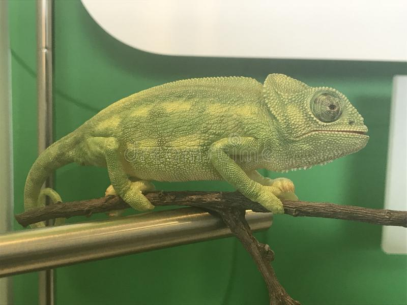 A chameleon walking in a stem royalty free stock images