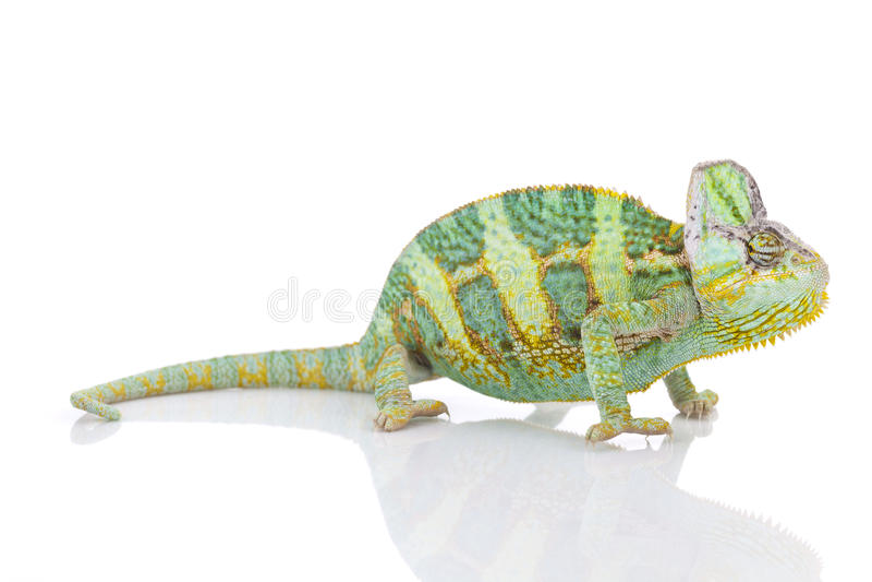 Chameleon on white background stock photos