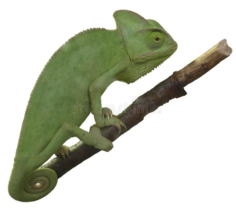 Chameleon on a white background. png. stock photo