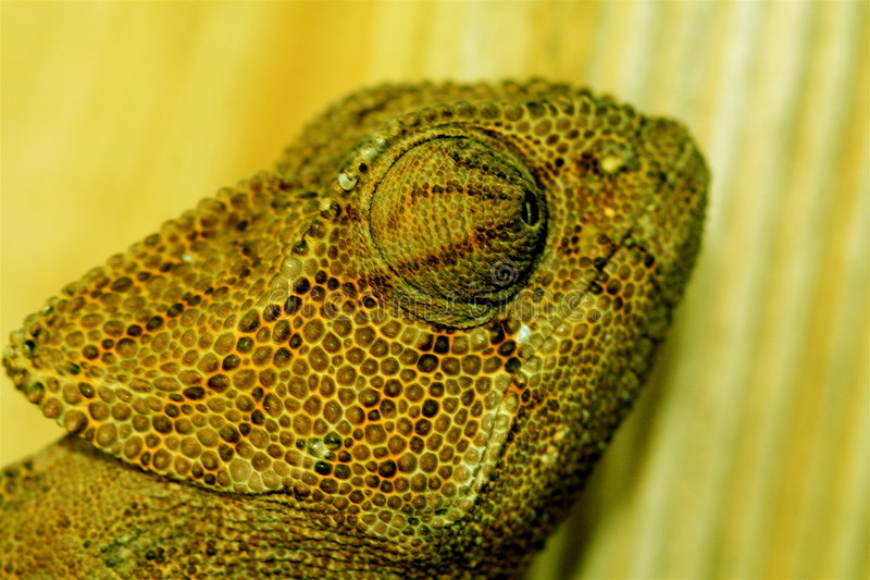 Chameleon on Wood royalty free stock photography