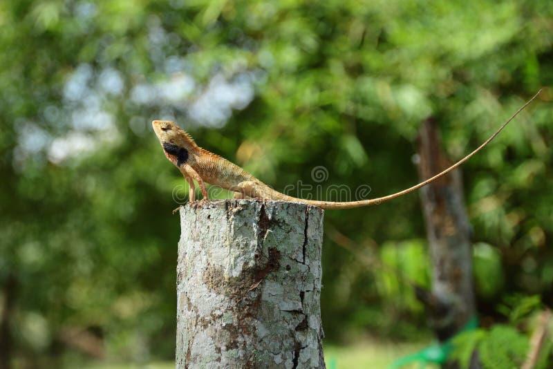 Chameleon on wood. Chameleon wood lizard tree-lizard outdoor nature day blur closeup animal animal-theme background green portrait wildlife stock photo