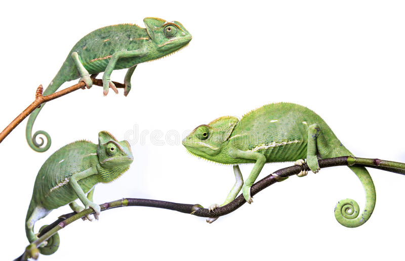 Chameleons - Chamaeleo calyptratus. On a branch isolated on white royalty free stock photography