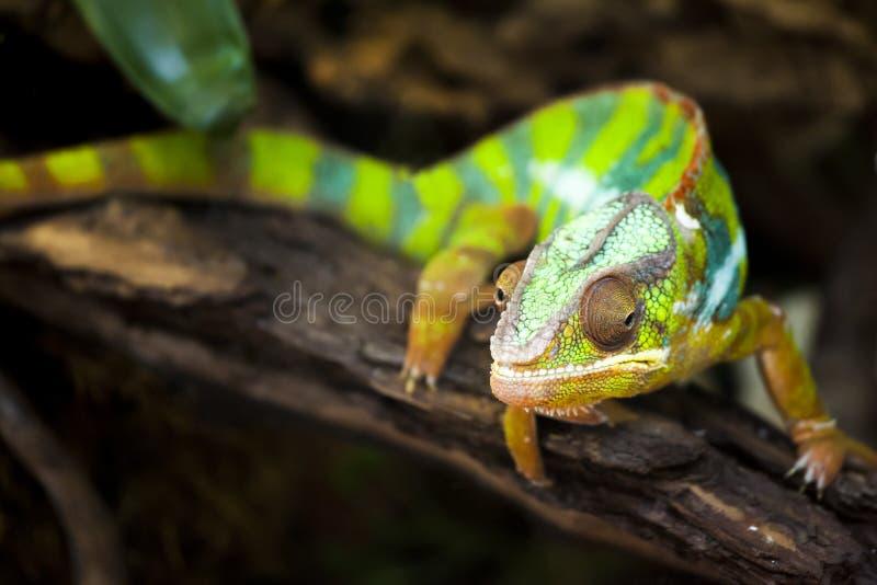 Chameleons or chamaeleons. Chamaeleonidae. Chameleons or chamaeleons (family Chamaeleonidae) are a distinctive and highly specialized clade of old world lizards royalty free stock photos