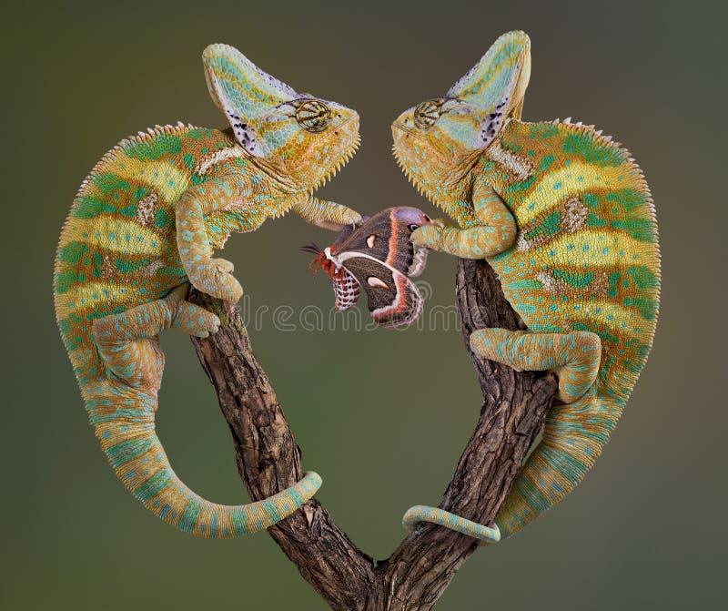 Chameleons egoístas imagem de stock royalty free