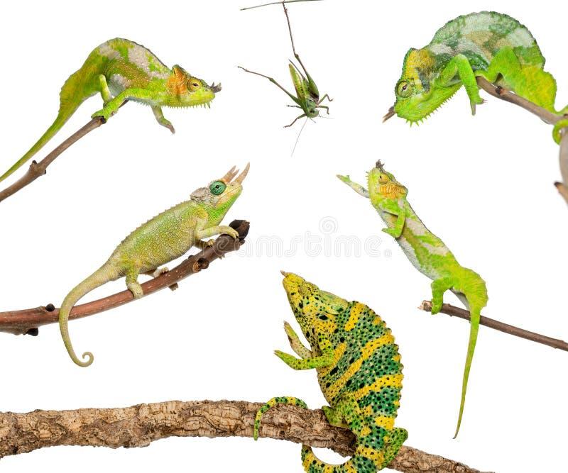 Chameleons Reaching For Grasshopper Royalty Free Stock Image