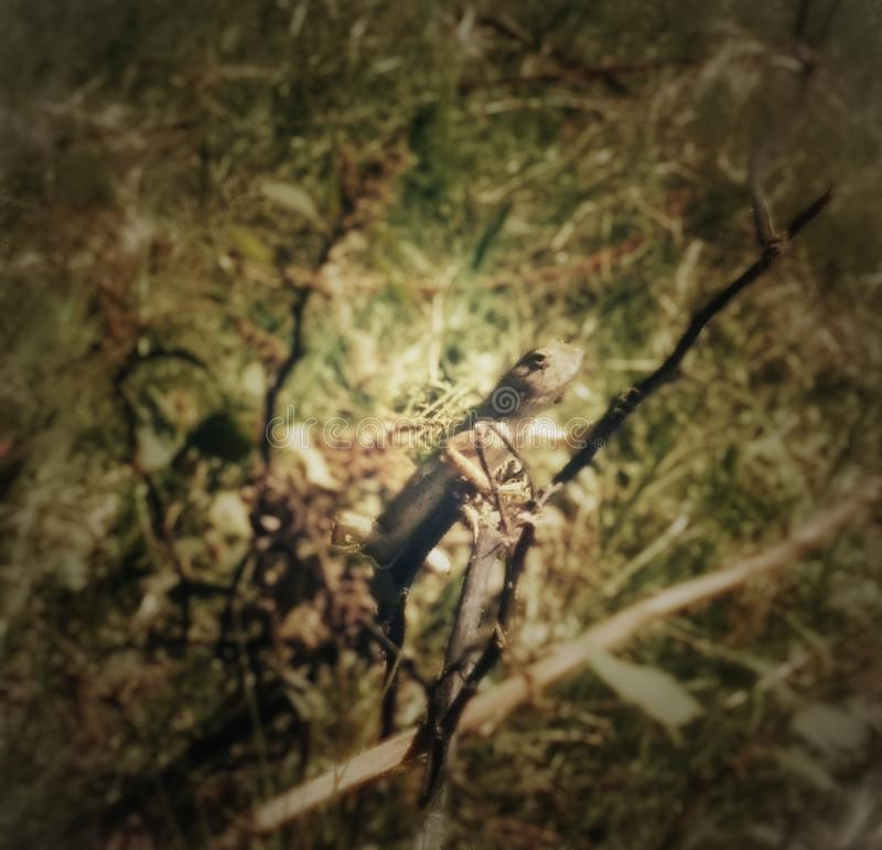 Chamellion på trädet fotografering för bildbyråer