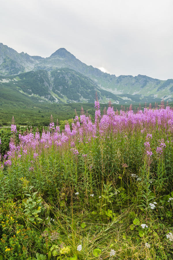 Chamerion angustifolium (fireweed, great willow-herb, rosebay willowherb) from mountain ridge in the background. Pink flowers Chamerion angustifolium (fireweed royalty free stock photos