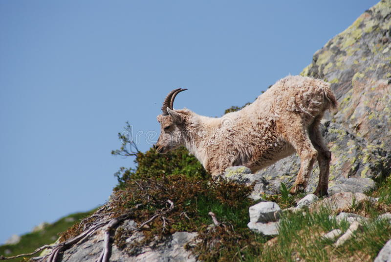 Download Chamois stock image. Image of alpes, massif, grazing - 10476611