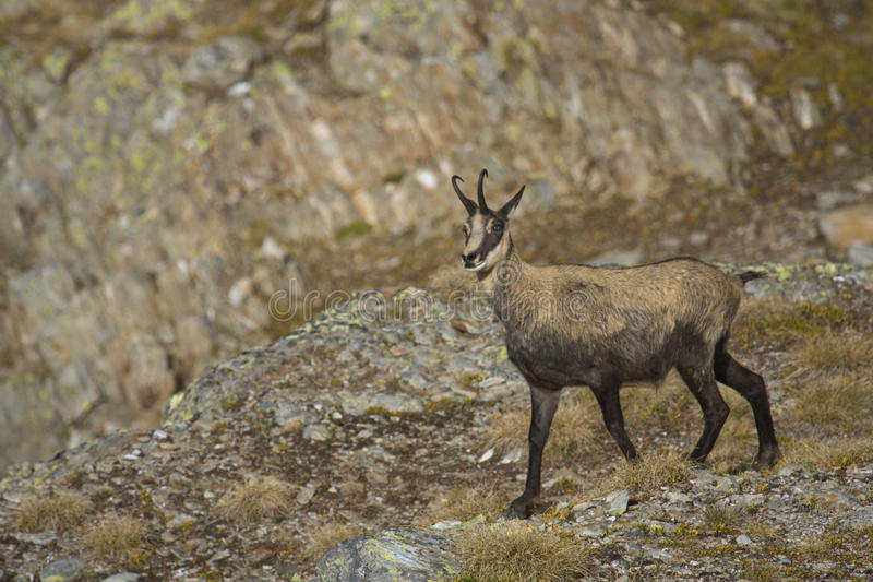 Download Chamois stock image. Image of hiking, holiday, ungulate - 21106261