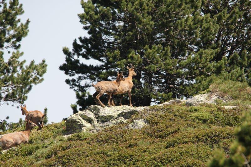 Download Chamois stock image. Image of herd, chamois, mountain - 25618809