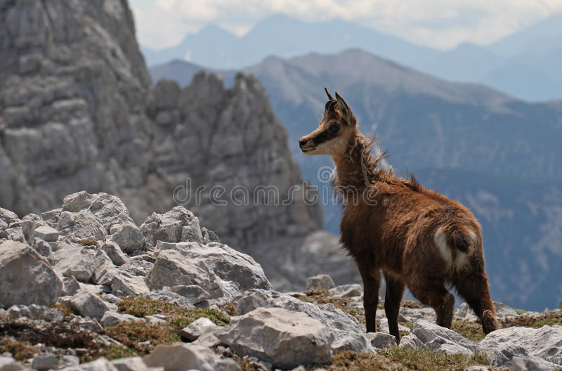 Chamois Images stock