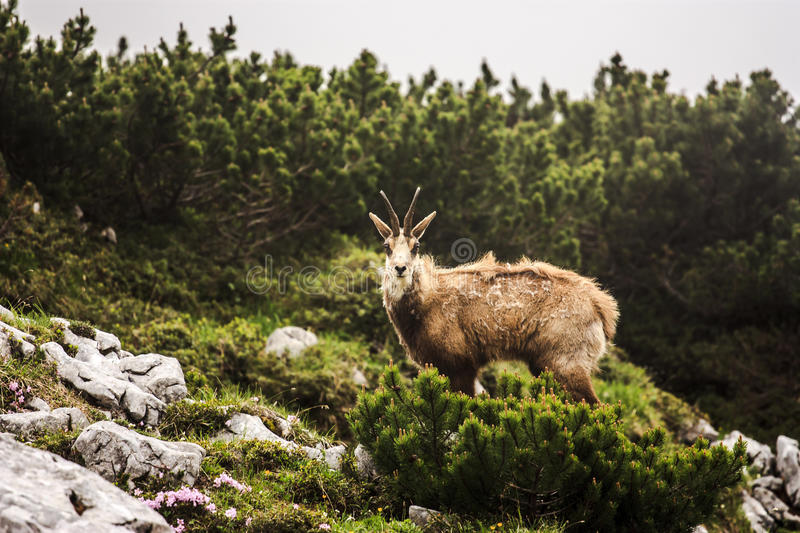Download Chamois Stock Photos - Image: 27441403