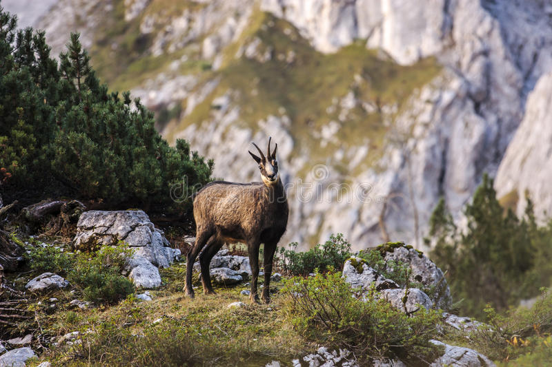 Chamois Photos stock