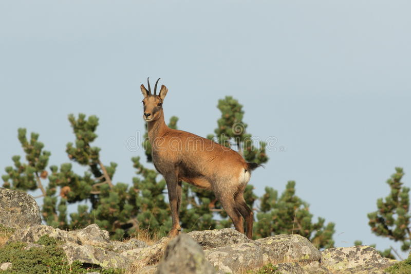 Download Chamois stock image. Image of mountain, herbivorous, chamois - 28046149
