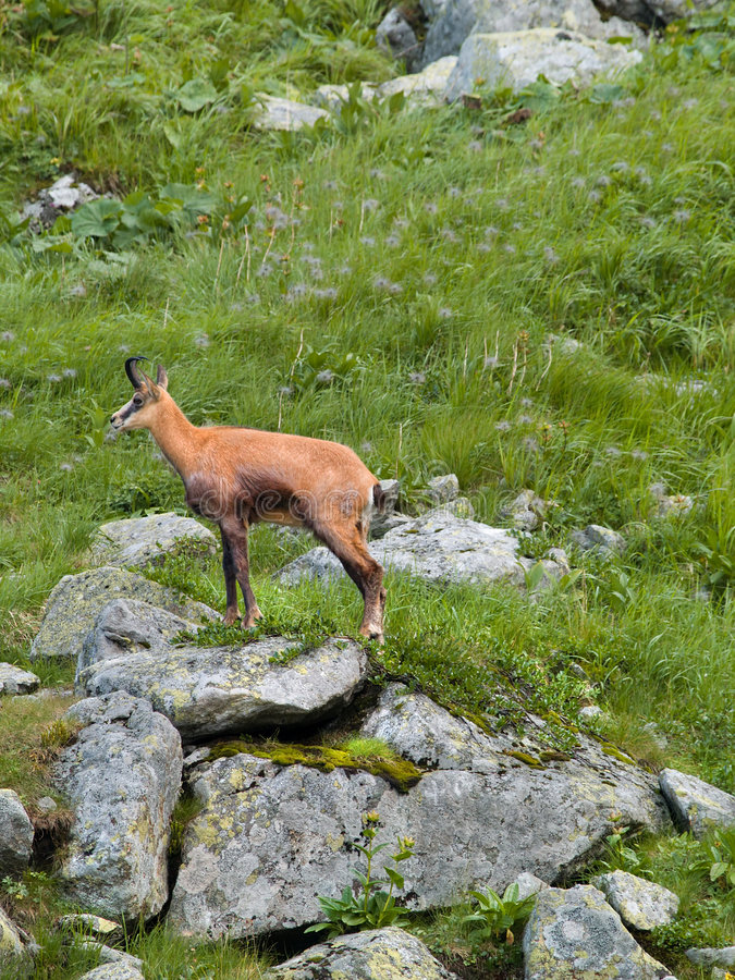 Download Chamois stock photo. Image of tatras, vacation, horn, alpen - 2951224