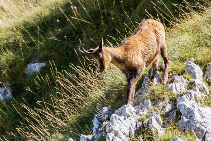 Chamois of abruzzo national park of abruzzo stock photography