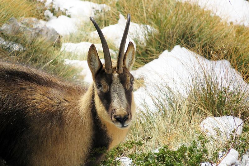 A chamois apennines. In the abruzzo national park in italy stock photos