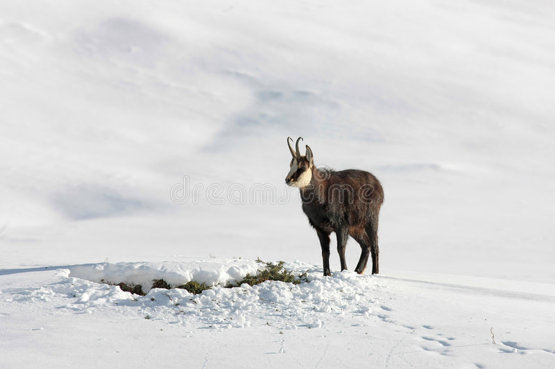 Download Chamois buck in the snow stock photo. Image of mountains - 8163696