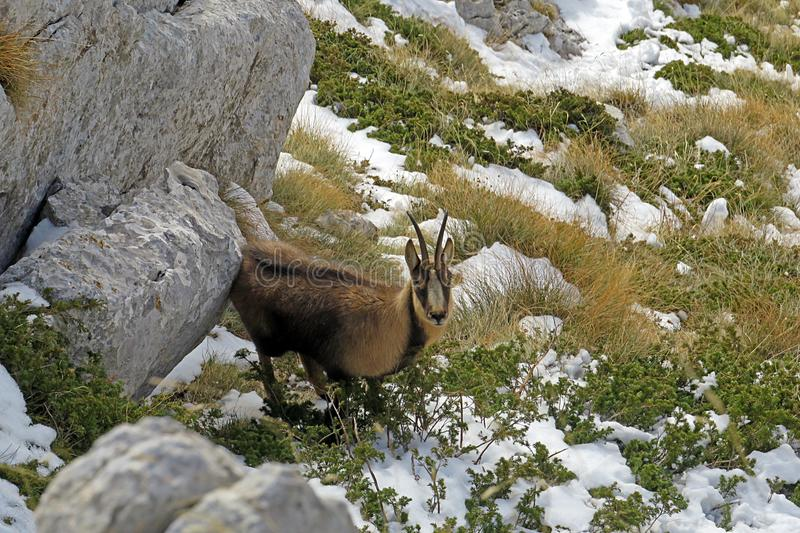 Chamois caché image stock