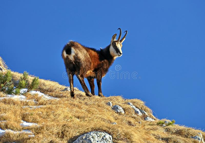 Mountain Goat. A mountain goat chamois rupicapra standing at mountain