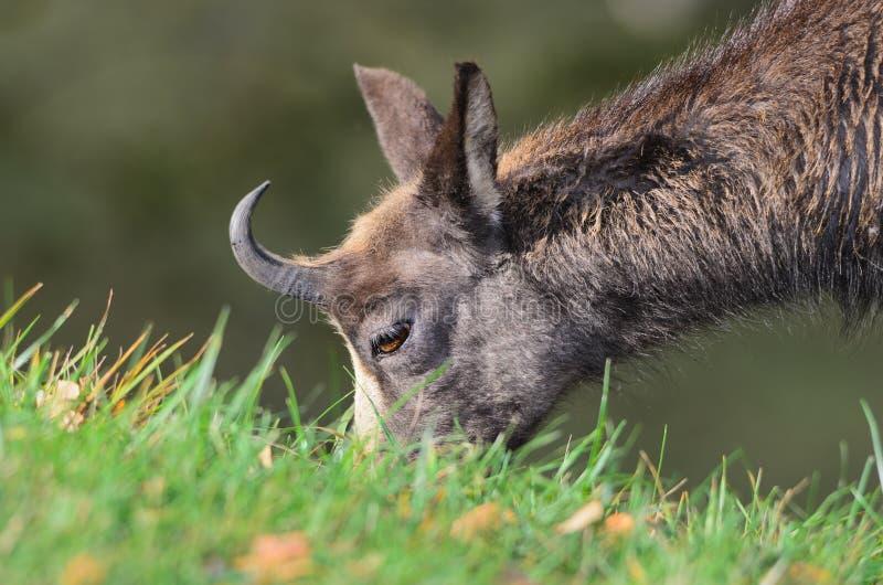 Download Chamois stock image. Image of wild, goats, alpine, hook - 31940387